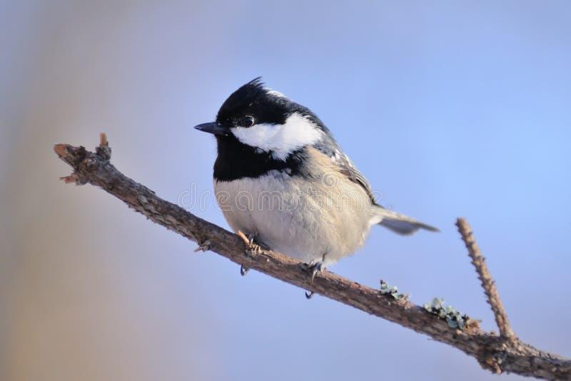 冬天栖息的煤炭山雀侧视图反对蓝天backgroun的 库存图片