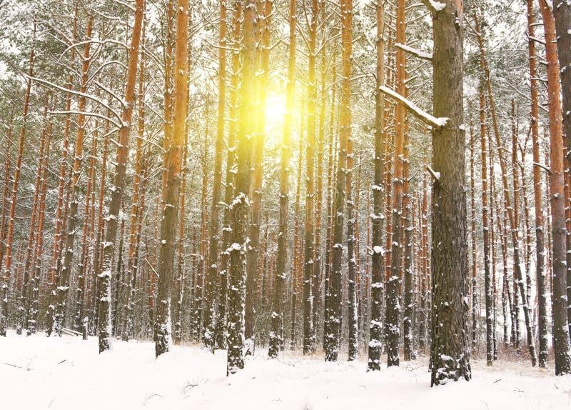 冬天森林从树的太阳光 免版税库存图片