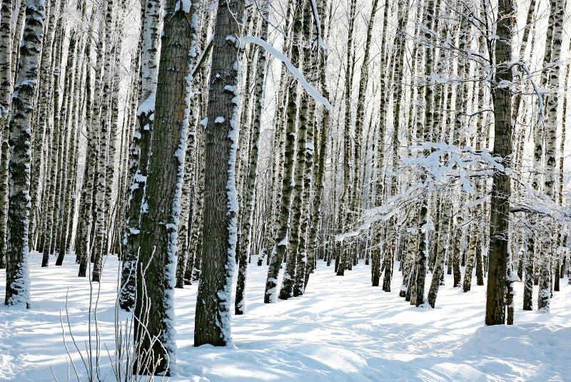 冬天森林在晴天 免版税库存图片