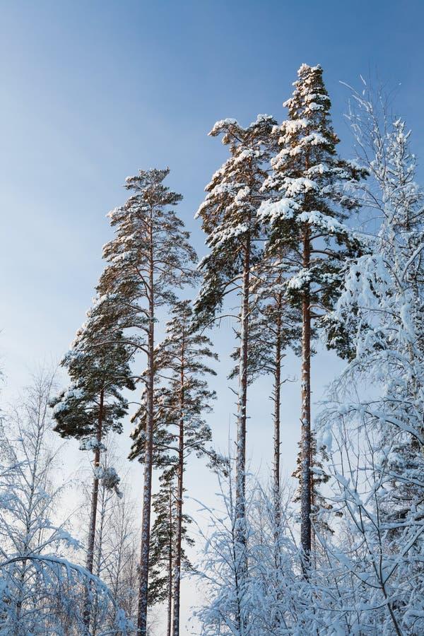 冬天森林杉树在芬兰冠上在黄昏 免版税库存照片