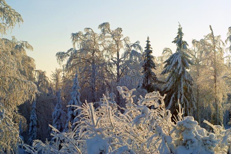 冬天森林风景在一清楚的冷淡的天:用使目炫雪盖的树,反对蓝天 免版税库存照片