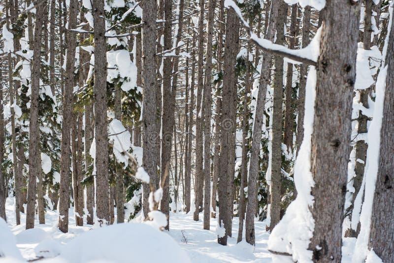 冬天森林滑雪足迹 库存图片
