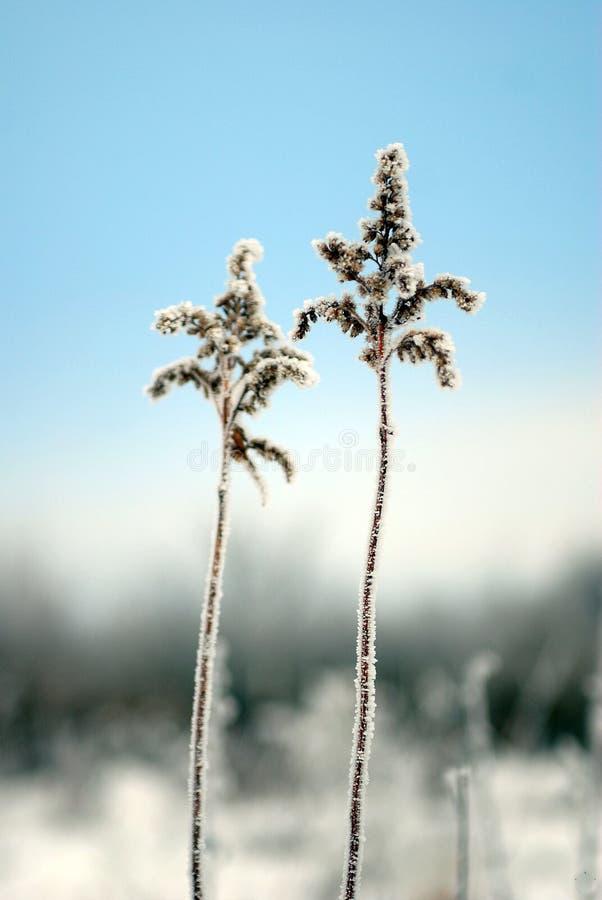冬天植物 免版税库存图片