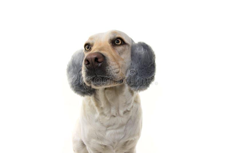 冬天狗被惊吓烟花,雷暴,喧闹声 佩带的蓬松御寒耳罩 ISOLTED射击了反对白色背景 免版税库存图片