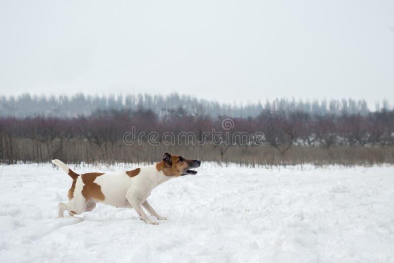 冬天狩猎 狗跟随足迹,积极地调整 免版税图库摄影