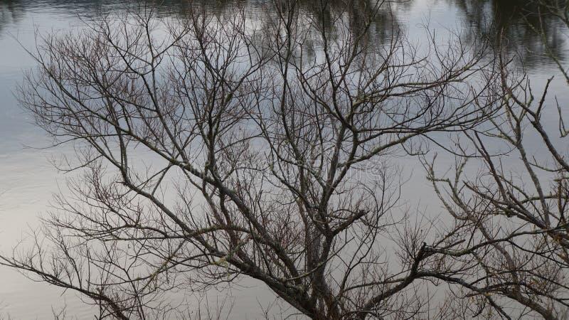 冬天由怀卡托河的柳树在Ngaruawahia,新西兰 库存照片