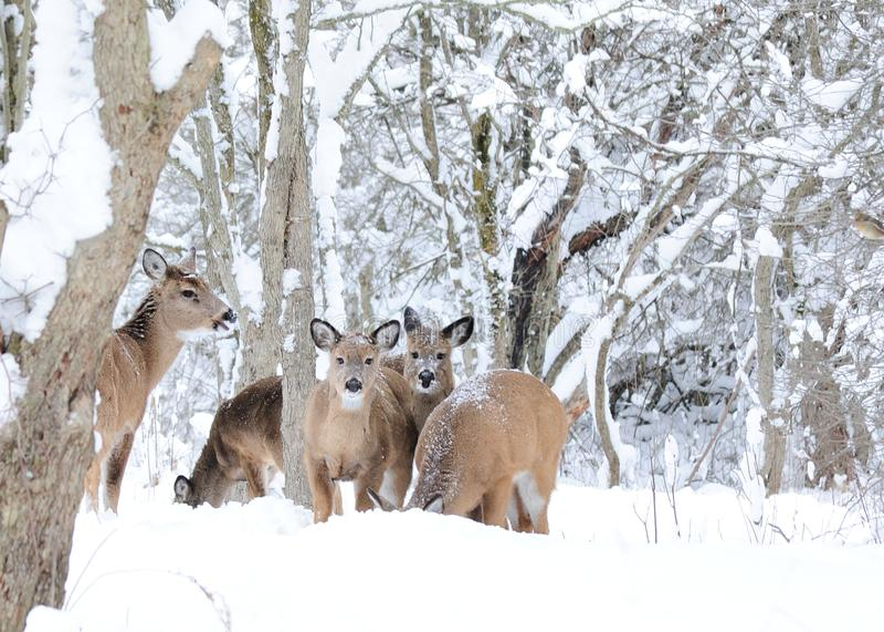 冬天白尾鹿 库存照片