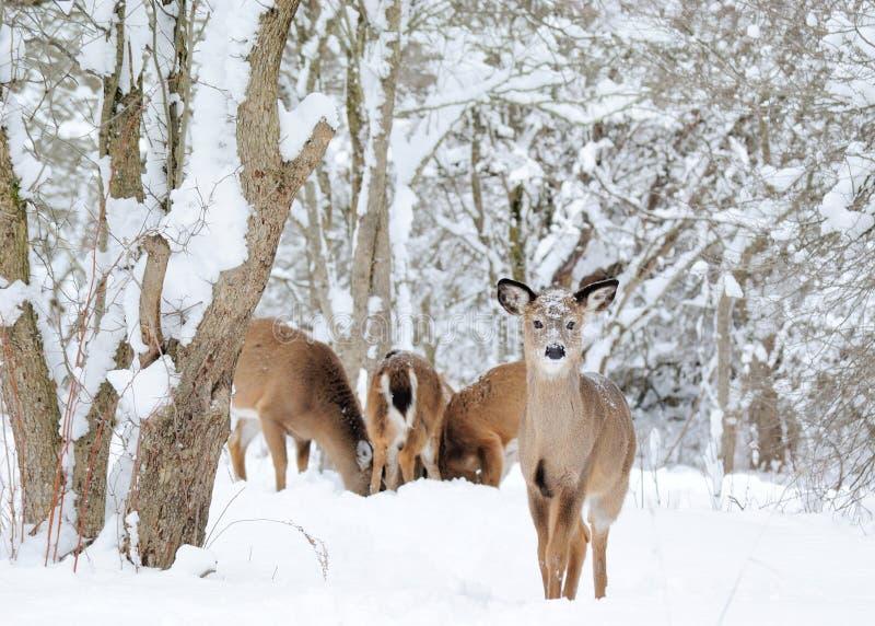 冬天白尾鹿 图库摄影