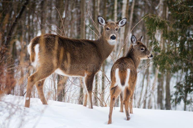 冬天白色被盯梢的鹿 库存照片