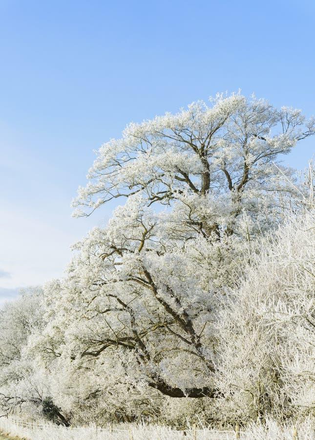 冬天结构树 免版税库存图片