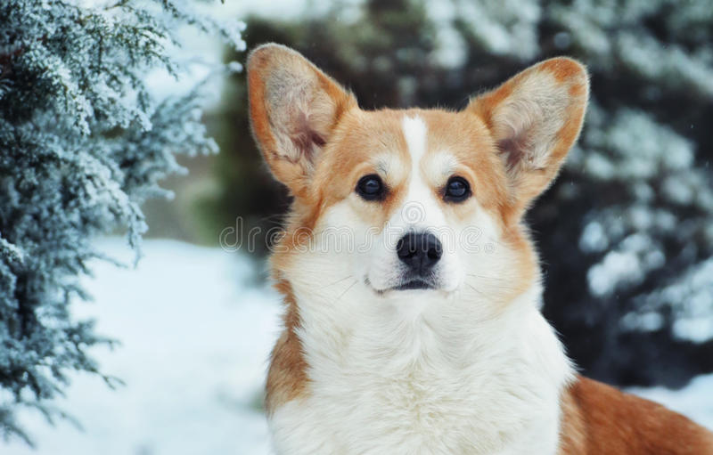 冬天美丽的狗小狗彭布罗克角 在雪的灌木 免版税库存图片