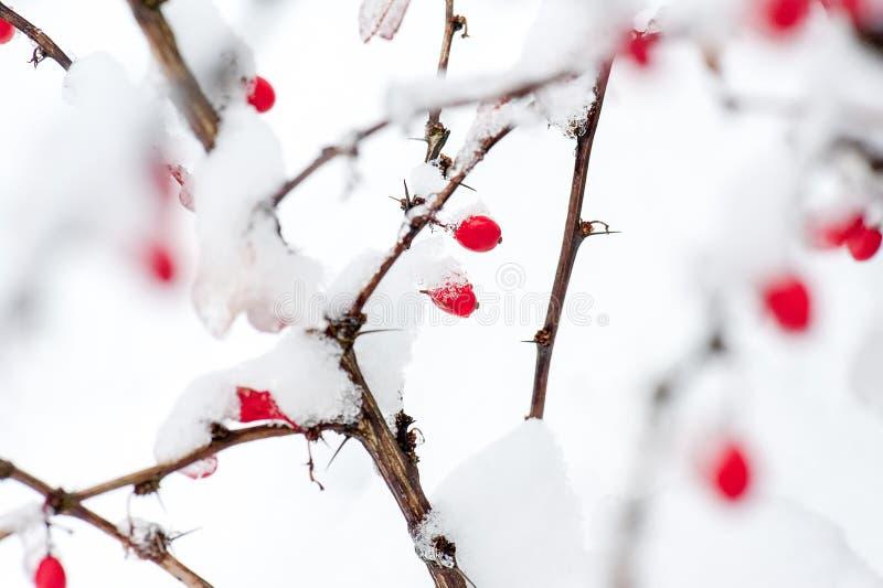 冬天背景,在用树冰报道的冻结的分支的红色莓果 库存图片