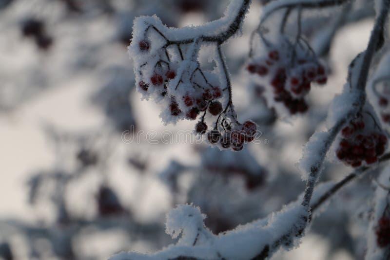 冬天花楸浆果 免版税图库摄影