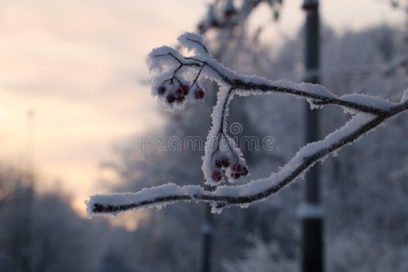 冬天花楸浆果 库存照片