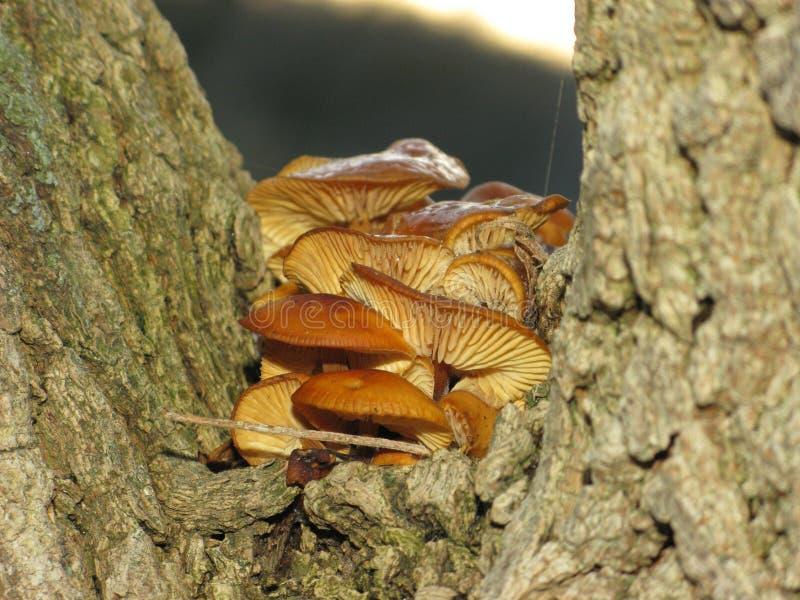 冬天蜂蜜伞菌 库存图片