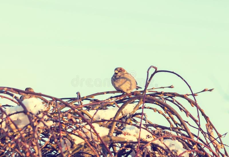 冬天被射击麻雀坐分支 库存照片
