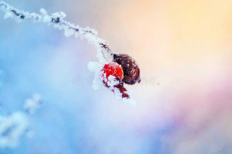 冬天野玫瑰果 免版税库存照片