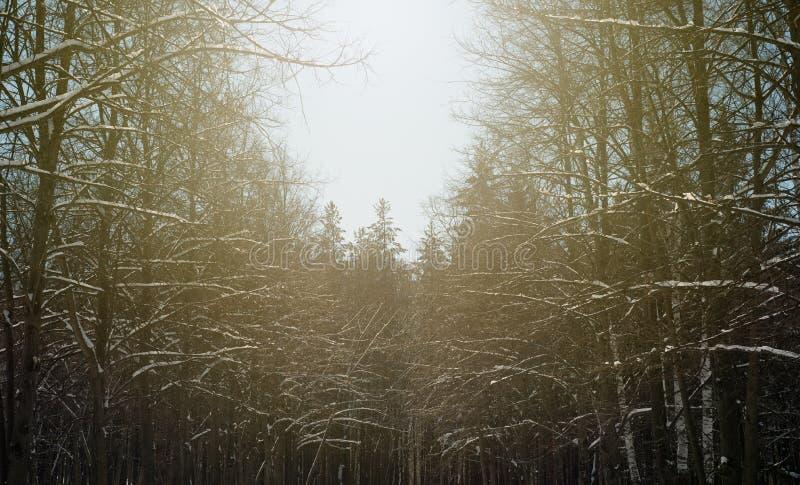 冬天阳光光束和杉树在自然森林里 免版税库存照片