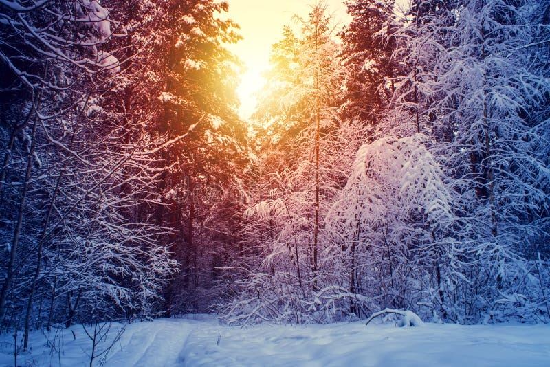 冬天雪林木日落背景 在冬天雪林木场面的红色日落 冬天日落雪森林 库存照片