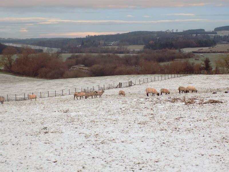 冬天风景,与美丽的绵羊,诺森伯兰角 免版税库存照片