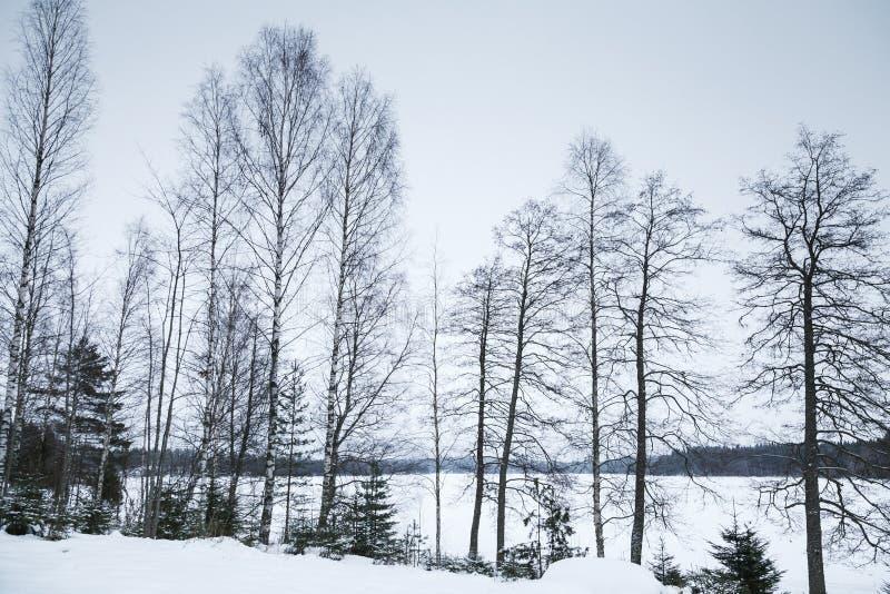 冬天风景,光秃的桦树 免版税库存照片
