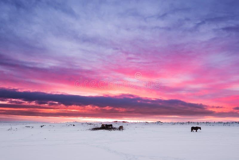 冬天风景,小组在雪原的马在黄昏的乡下在日落前在冰岛 免版税库存图片