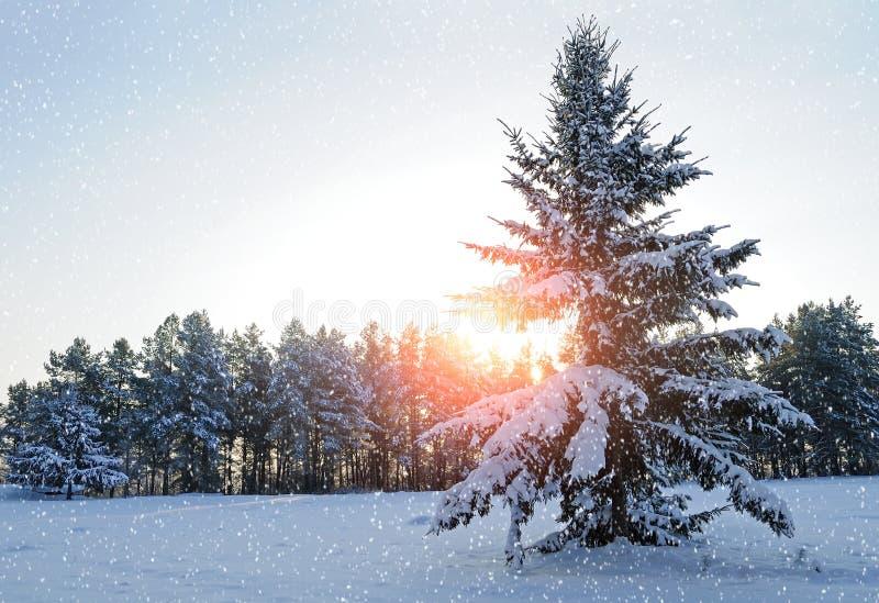 冬天风景-多雪的杉树在落的雪下的冬天森林里在冬天晚上 图库摄影