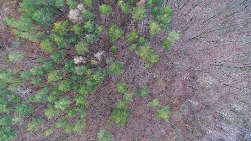 冬天/秋天森林寄生虫摄影鸟瞰图  在具球果杉木和落叶橡木上森林的看法  免版税库存照片