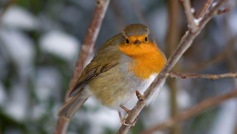 冬天Robin 库存图片