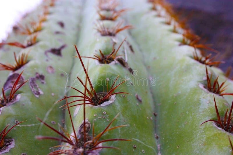 冬季刺青仙人掌或多汁荆棘 库存照片