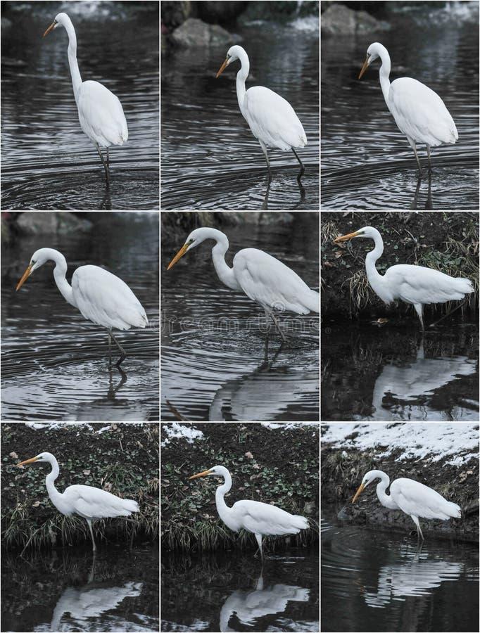 冬季景观中的大白鹭 免版税库存图片