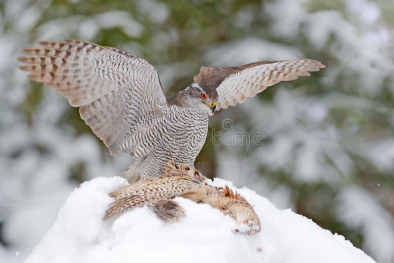 冬季野生动物,雪中猎物鸟 苍鹰与雉鸡在森林中的动物行为 库存图片