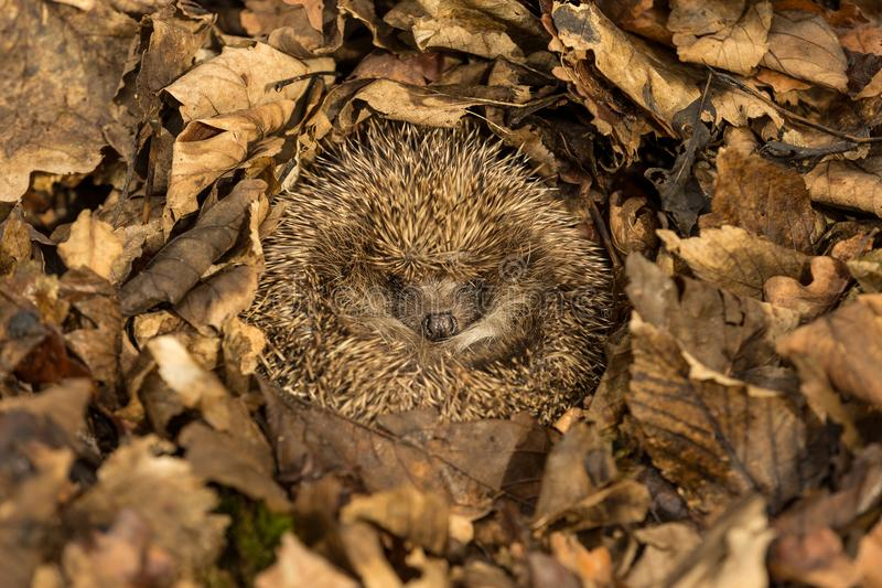 冬眠在金黄棕色秋叶的猬 库存图片