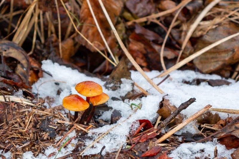 冬菇在一个积雪的山沟的火菇菌素velutipes 免版税图库摄影