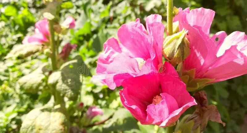 冬葵桃红色花在庭院里开花在一明亮的好日子 绽放夏天 r 绿色植物增长 免版税库存图片