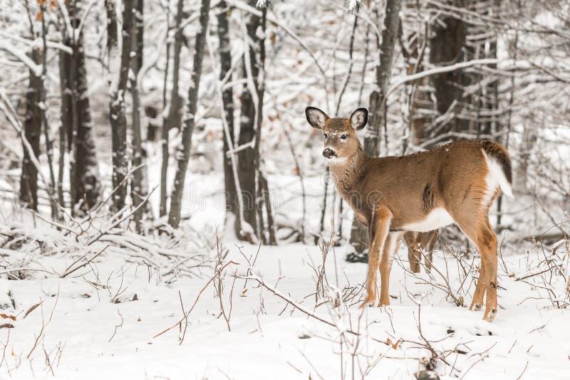 冬雪中的白尾鹿 免版税库存照片