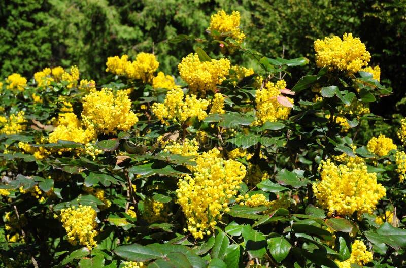 冬青属aquifolium、霍莉、英国霍莉、欧洲霍莉或者偶尔地圣诞节霍莉灌木开花的花在春天 免版税库存照片