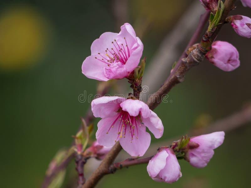 冰在桃红色绽放的桃树分支 庭院的果树 ?? 内部照片 免版税库存照片