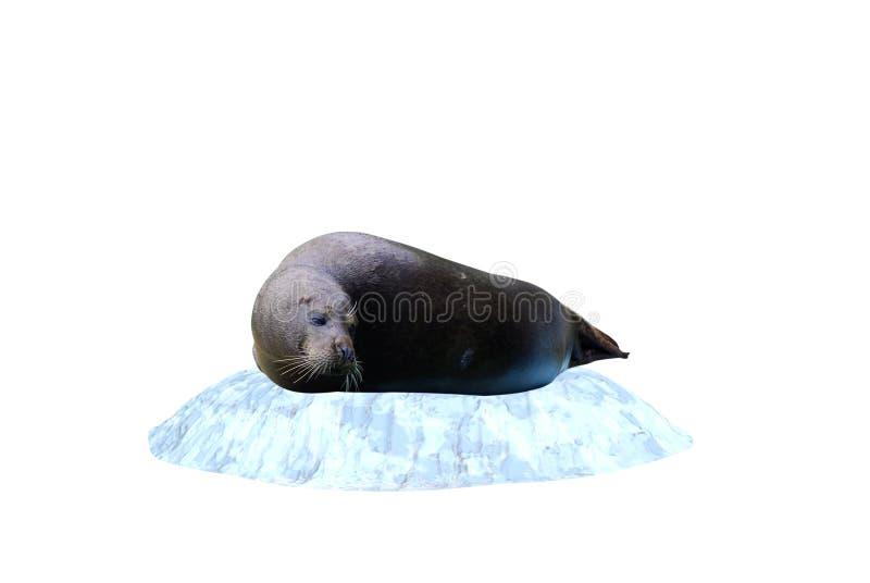 冰山密封 免版税库存图片