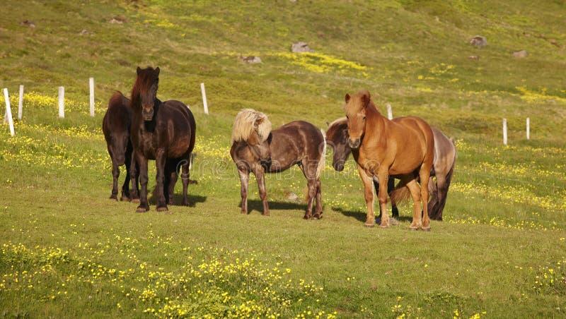 冰岛。吃草在草的冰岛马。 库存照片