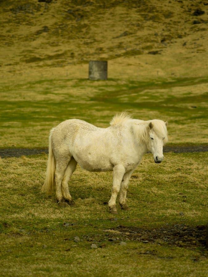冰岛农厂马 库存照片