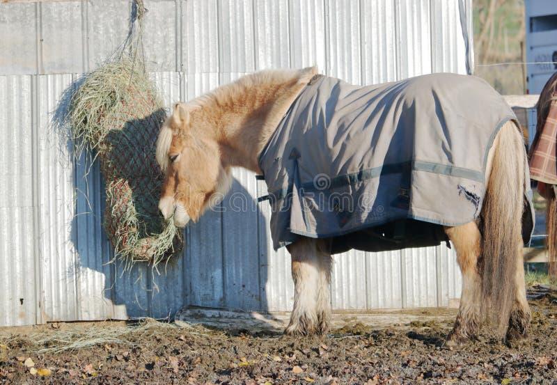冰岛小马和袋子干草 免版税图库摄影