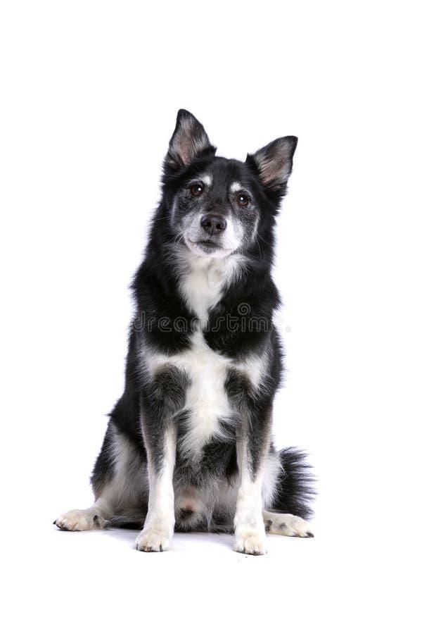 冰岛护羊狗或冰岛波美丝毛狗 图库摄影