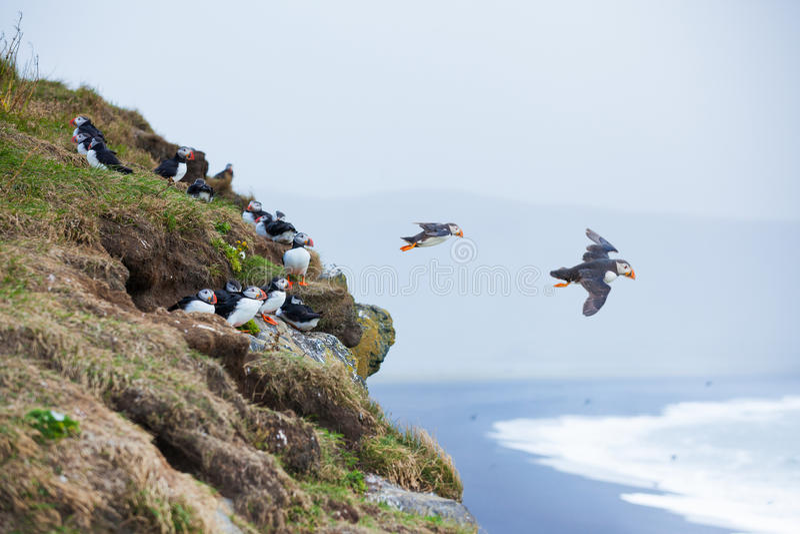 冰岛海鹦 免版税库存图片