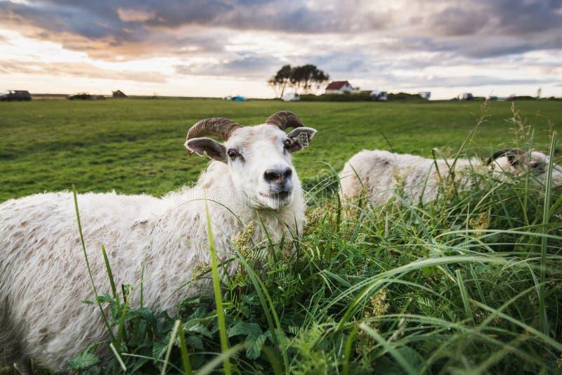 冰岛白羊特写镜头在一片草地的在接近塞里雅兰瀑布瀑布的日落期间 库存照片