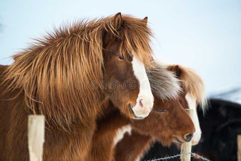 冰岛马在冬天,冰岛画象  库存照片
