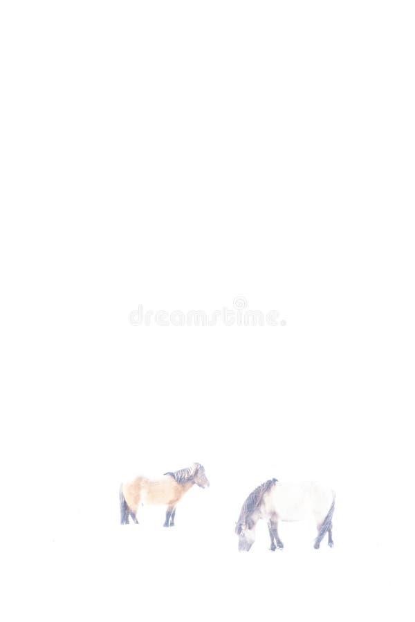 冰岛马在冬天,拍摄在hikey 免版税库存照片