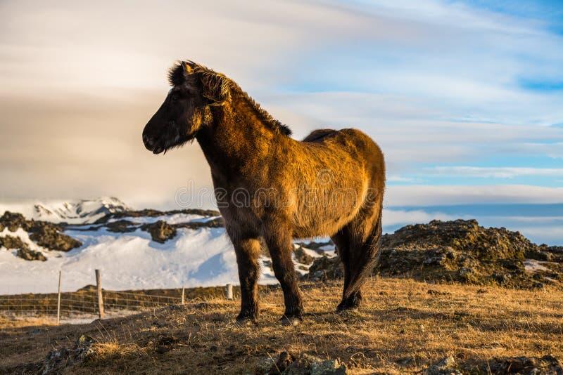 冰岛马在小牧场 免版税库存图片