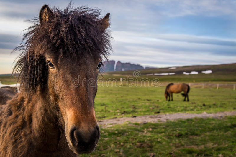 冰岛马在Husavik附近 库存图片