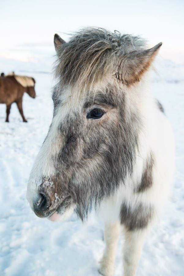 冰岛马站立在一个白色冬天风景的,冰岛 库存图片